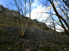 Tree in Scree (failing_angel) Tags: 050316 derbyshire bakewell lathkilldale tree scree alport caledale youlgreave