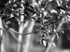 Sasanqua (odeleapple) Tags: zenza bronica etrsi zenzanon 75mm neopan100acros film bw sasanqua blossom tree
