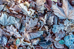 It's Getting Cold Here!!! (derek.dpr) Tags: autumn frost winter leaves leaf muted sony rx100 dscrx100m3 nature