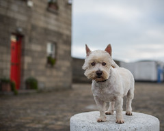 Poseur (adrian.sadlier) Tags: westie westhighlandwhiteterrier dog dublin canine howth howthharbour buddy pet friend