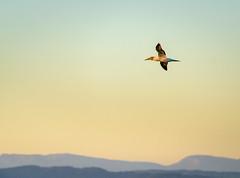 Fly Past (ajecaldwell11) Tags: sun austrlasiangannet hawkesbay newzealand sunset napier flight bird flying sky sunlight gannet caldwell ankh light