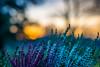 Golden Bokeh (m3dborg) Tags: golden bokeh sunset plant outdoor natural light sony a77ii 50mm f14 depthoffield depth field skyline bright