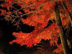 紅一夜 (A night of crimson) 3 (wakyakyamn) Tags: オリンパス 葉 olympus em10markii カエデ omd
