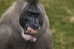Smile (jkotrub) Tags: detroit zoo animal outdoors outside fall winter autumn monkey drill teeth mouth face