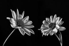 b&w (hequebaeza) Tags: naturaleza nature vegetacin vegetation flores flowers flora bw monocromo ptalos petals margarita daisy nikon d5100 nikond5100 3570mm hequebaeza