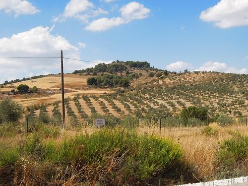 Sierra de las Nieves: Olivenbäume