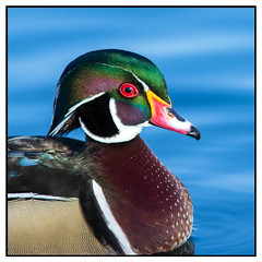 Wood Duck (Ed Sivon) Tags: american america canon nature lasvegas water wildlife wild western white southwest sun duck ducks desert red clarkcounty clark color vegas green bird henderson nevada nevadadesert park