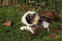 Emergency Exit (K.Verhulst) Tags: rabbit konijn ouwehandsdierenpark rhenen bunny