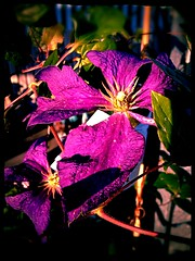 A colourful Clematis (JulieK (finally moved to Wexford)) Tags: iphone5 processing sliderssunday hss flower clematis purple flora gardencentre wellingtonbridge wexford colourful colour aviary 2016onephotoeachday