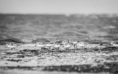 The sanderlings food competition (moefadam - naturesurprises.com) Tags: bw meer nordsee sandbank sanderling tier vogel wasser wellen westerhever autumn waddensea migratorybird birdmigration animal wonderful wildlife nature naturesurprisescom nationalparkwattenmeer