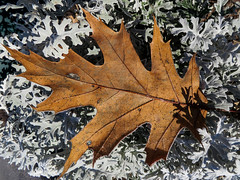 Fallen Leaf - Feuille tombe (monteregina) Tags: qubec canada ca autumn fagaceae fall oak plantae brown foliage frost leaf plant weather feuille chne oneleaf rime bordurres edges white givre geleblanchee macro closeup