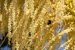 Apidae (azambolli) Tags: bee insect abelha mamangava brasil inseto nature natureza animal