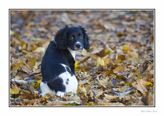 Wor Bonnie (Seven_Wishes) Tags: newcastleupontyne elswickpark autumn autumnal leaves dof depthoffield pet dog spaniel springerspaniel englishspringerspaniel blackandwhite animal canoneos1dmarkiv canonef100400mmf4556lisii jo outdoor photoborder puppy sitting eyes puppydogeyes sad soulful waiting cute