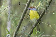 Rufous-browed Peppershrike (Cyclarhis gujanensis) (Gmo_CR) Tags: cyclarhisgujanensis rufousbrowedpeppershrike vireóncejirrufo coronado patiodeagua costarica
