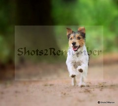 Dogphotography : Jack Rusell /Hondenfotografie : Jack Rusell (ShotsOfMarion) Tags: dogphotography hondenfotografie shotsofmarion shots2remember flickr nikon pet huisdier dogphotographyonlocation hondenfotografieoplocatie hund hond perro thiere cane chien animal jackrusell