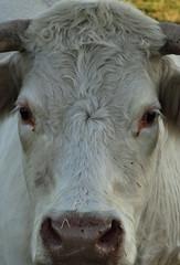 Vue en coupe d'une vache blanche 3 (Cherryl.B) Tags: vache mammifère bovin ferme animal museau yeux cornes poils blanc
