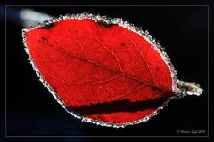 Frozen Ruby (hubert.sigl1) Tags: pflanze rot rauhreif hoarfrost gegenlicht macro schatten shadow plant red backlight contrejourshot smallleaf blttchen