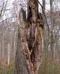 Split tree trunk (Dendroica cerulea) Tags: tree deadtree snag trunk autumn irelandbrookconservationarea eastbrunswick middlesexcounty nj newjersey