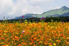 Cosmos field... (Koku85) Tags: cosmos flowers garden landscape nature paisage japan yellow