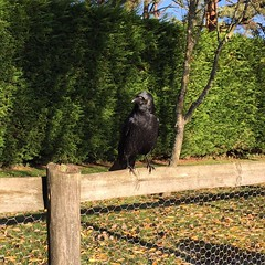 Bob The Crow (Marc Sayce) Tags: bob the crow corvid rook raven jackdaw bird corvidae