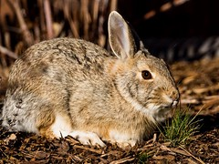 Enjoying the golden hour. (Kerstin Winters Photography) Tags: flickrnature flickr sigma closeup colorado d7200 nikon nikondsl nikondigital nature outdoor rabbit bunny