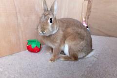 Ichigo san 493 (mensore) Tags:  rabbit bunny netherlanddwarf brown ichigo
