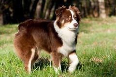 IMG_2890 (Celtycrow) Tags: chien berger australien sheperd
