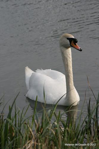 Male Swan 3