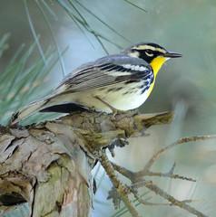 Yellowthroated Warbler (lanaganpm) Tags: