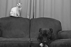 Owned (snapclicktripod) Tags: dog socks cat tiger whiskers couch sofa owned socrates staffie 105366 abovetherest gotoguy ourdailychallenge