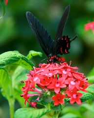 Pink Rose Swallowtail (Penny Hyde) Tags: vertical butterfly shared safaripark