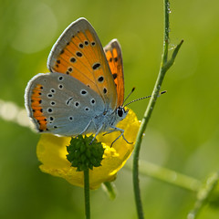 Cuivr des marais (Lycaena Dispar) Large Copper (Sinkha63) Tags: france macro male nature animal butterfly wildlife lepidoptera explore papillon insecte corrze limousin beynat lycaenidae lycaenadispar largecopper lycaena lpidoptre lycaeninae explored cuivr cuivrdesmarais iucnnt mygearandme mygearandmepremium mygearandmebronze mygearandmesilver mygearandmegold mygearandmeplatinum grandcuivr thersamolycaenadispar