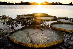 Vitória-régia (Ricardo_ Lima) Tags: brazil nature brasil amazon vitóriarégia amazônia