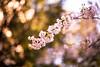 April Bliss (moaan) Tags: life pink digital 50mm spring dof blossom bokeh utata april 桜 cherryblossom sakura blossoming sprung cherrytree 2012 f12 inblossom atouchofpink inlife ef50mmf12lusm canoneos5dmarkiii
