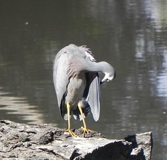 White-faced Heron (2) (GordonP1) Tags: laratinga