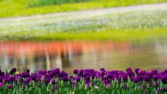 Tulip garden (shinichiro*@OSAKA) Tags: flower macro japan tokyo spring tulip april getty crazyshin array 2012  afsvrmicronikkor105mmf28gifed abigfave  order500 nikon1v1 7096272977 20120418dsc9103