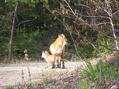 Mother and child (fyrrylikka) Tags: mother may cottagecountry fox pup 2012
