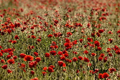 Sweet melody (decar66) Tags: flowers red primavera clouds spring mediterranean poppies poppyfields ontinyent amapolas amapola adormidera tonemapped onteniente lavalldalbaida campodeamapolas salvabarbera