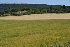 Cereals (esta_ahi) Tags: barcelona espaa spain flora cultivos camps cereals cereales poaceae campos anoia gramineae lallacuna conreus  cultius