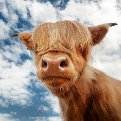 Baby Coo (maxblackphotos) Tags: summer portrait hot face june hair nose scotland cow nikon scottish sunny fringe beast 20mm calf upclose highlandcattle snot dribble 2012 nostrils aberdeenangus mallaig d700 camusdarrach