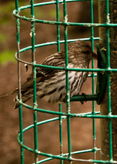 Pine Siskin (2) (tommaync) Tags: bird nature oneaday tom nc nikon wildlife feathers may feeder photoaday pinesiskin pittsboro pictureaday lowcontrast infocus siskin highquality d40 project365 2013 project365133 project365051813
