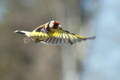 Goldfinch in flight (P_1_B) Tags: nature birds wildlife goldfinch sandy birding bedfordshire birdwatching birdinflight rspb tamron70300 rspbthelodge sonya77 goldfinchinflight slta77v