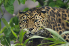 Watching Leopard (Nick Didlick) Tags: park wild blur field animal cat photoshop lens zoo big sony a33 300mm leopard depth colchester colchesterzoo enclosure nickdidlicknickdidlick