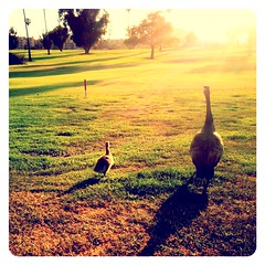 Duck Duck Goose. (infa_reds) Tags: sunset art golf photography geese duck losangeles weekend santamonica sunday perspective goose golfcourse 365 picoftheday mothergoose 2013 365project uploaded:by=flickrmobile flickriosapp:filter=nofilter