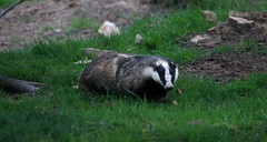 Badger (Kevin Hughes 348) Tags: wales mammal wildlife naturalhistory badger brock sett melesmeles gwernymynydd kevinhughes europeanbadger mygearandme