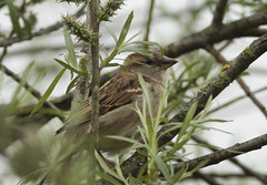 Female House Sparrow (Prank F) Tags: house bird nature wildlife sparrow kettering wicksteedpark northantsuk
