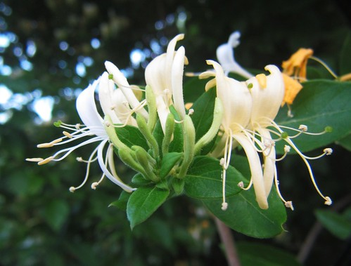 The drifting scent of honeysuckle.