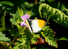 A very brief pitstop! (SteveJM2009) Tags: uk light sun flower male leaves june butterfly cornwall feeding hedgerow stevemaskell helland orangetip anthochariscardamines 2013
