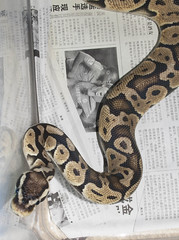 Ballpythons (fab_rice2) Tags: