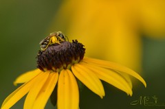 Mr. Pollinator (snoopydoobiedog~) Tags: summer nature florida nikond5100